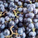 Kokulu üzümün nedir ve faydaları nelerdir?