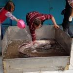 İznik Gölü'nde 2 metre boyunda yayın balığı yakalandı