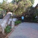 Koçarlı'da çam ağacı devrildi