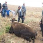 Su kanalına düşen inek AFAD ekiplerince kurtarıldı