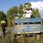 Erciş'te lahana hasadı başladı