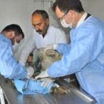 Şırnak'ta yaralı baykuşlara rektörden cerrahi müdahale