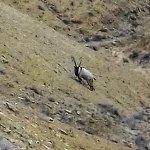 Darende'de yaban keçisi görüntülendi