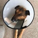 Av tüfeği ile vurulan köpek tedavi edildi