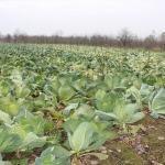 İnegöl'de lahana hasadı başladı