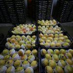 GRAFİKLİ - Armut ve ayva 2018'i ihracat rekoruyla kapattı