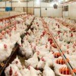 Tavuk devinin sahipleri FETÖ'den gözaltında