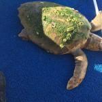 Marinada bulunan caretta caretta denize bırakıldı