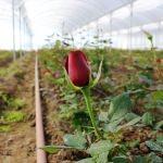 Sevgililer Günü çiçekleri köylü kadınlardan