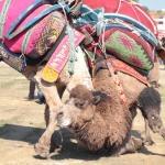 Antalya'daki deve güreşleri ilgi gördü