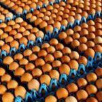 Tavuk yumurtası üretimi aralık ayında 1.7 milyar adet oldu