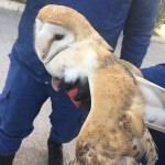 Yaralı bulunan peçeli baykuş koruma altına alındı