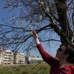 Edremit Körfezi'nde badem ağaçları erken çiçeklendi