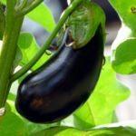 Ocakta fiyatı en çok artan ürün patlıcan oldu