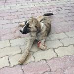 Aracın çarpıp kaçtığı yaralı köpek tedavi edildi