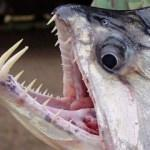 Vampir alarmı! Balıkçılar tedirgin...