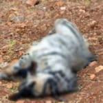 Şanlıurfa'da çizgili sırtlan yavrusu telef oldu