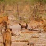Bir grup aslana tek başına kafa tuttu olanlar oldu!