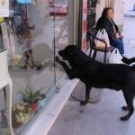 Akıllı köpek her gün aynı saatte kapıyı tıklayıp kendini sevdiriyor