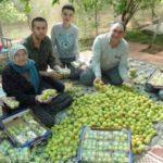Mersin'de kayısı hasadı başladı