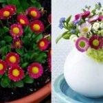 Şeker tabağı çiçeği nedir? Şeker tabağı çiçeğine nasıl bakılır?