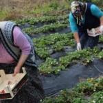 Karadeniz'de çilek hasadına başlandı