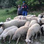 Ağıldan 32 koyun çalan şüpheli yakalandı