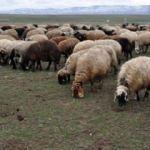 Sürüdeki koyun kuduz çıkınca! Köyde alarm...