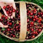 Doğal kiraz seçimi nasıl yapılır? Kiraz sapı çayı nasıl yapılır?