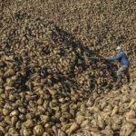 Şeker pancarı üretiminde artış beklentisi