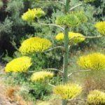 UNESCO listesindeki 'agave' çiçek açtı