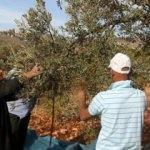 Yahudi işgalciler Filistinlilere ait yüzlerce zeytin ağacını yaktı!