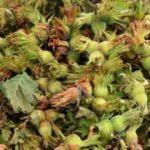 Fındık üreticileri mahsulün 20 liradan alınmasını istiyor