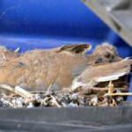 Kamyon şoförü kumrular için Avrupa seferini iptal etti