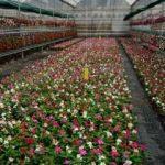 Süs bitkileri ülke ekonomisine 120 milyon lira kazandıracak