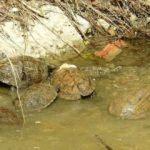 Mahsur kalan kaplumbağaları vatandaşlar besliyor