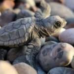 Caretta caretta yavruları denize ulaştı