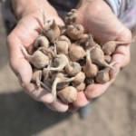 """""""Mucize bitki""""nin tohumları toprakla buluştu"""