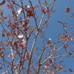 Mevsimini şaşıran erik ağacı çiçek açtı