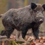 Yaban domuzu sandığı babasını vurarak öldürdü