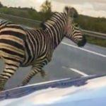 Otobanda kazaya yol açan zebra vurularak öldürüldü