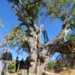 700 yıllık ceviz ağacı koruma altına alınacak
