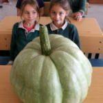 42 kiloluk bal kabağı şaşırttı! Okulda...