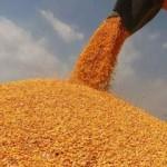 TMO'nun mısır alımları devam ediyor