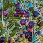 Zeytinin faydaları nelerdir? Zeytin yaprağı nasıl tüketilir? Zeytin çekirdeği yutarsanız...