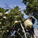 Bu elma Türkiye'de sadece Gümüşhane'de yetişiyor