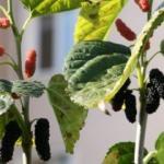 Dut ağacı Kasım ayında meyve verdi