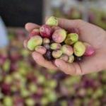 Tekirdağlı üreticiler zeytin hasadı heyecanı yaşıyor