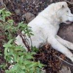 Ankara'da korkunç olay! 9 çoban köpeğini öldürüp...
