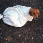 Hamile köpeği çuvala koyup yola attılar